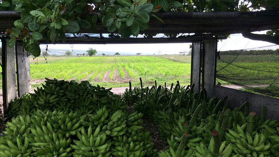 Um oásis cresce na árida caatinga